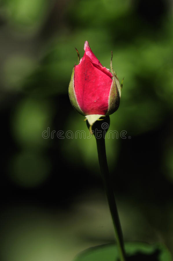 Download Rose Bud stock image. Image of rosa, head, rose, spue - 16610287