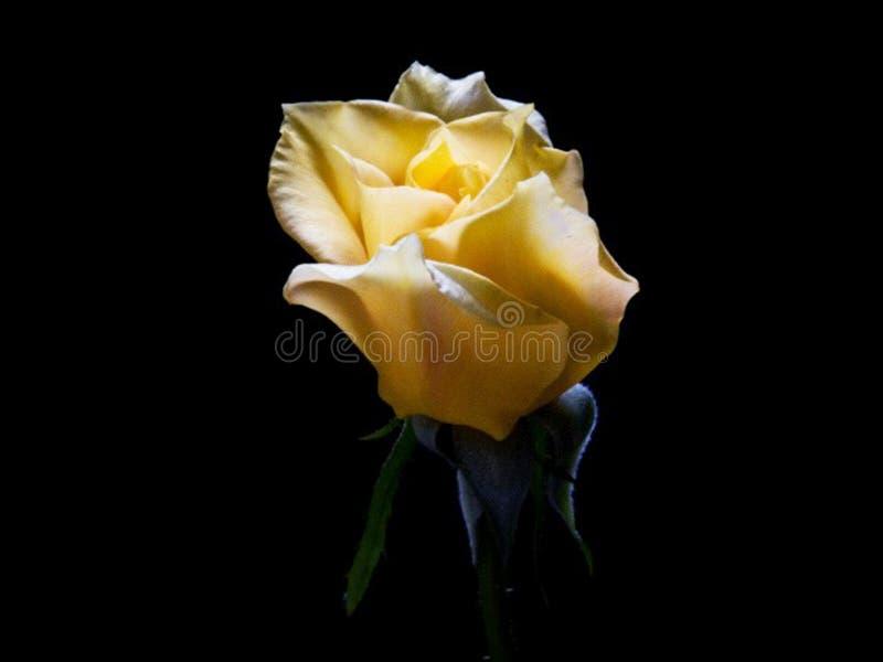 Rose Bud Close Up amarilla imagen de archivo
