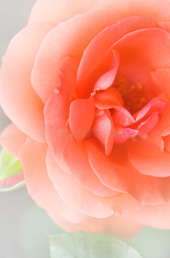 Rose bud close-up shot stock image