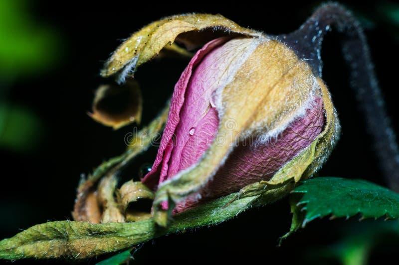 Rose Bud de mort photo stock