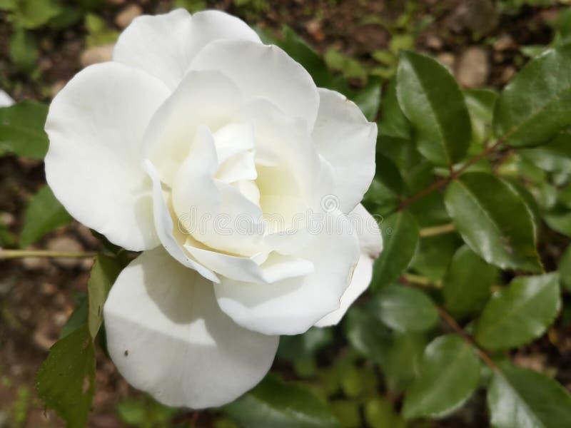 Rose Bud Nature Garden bianca fotografia stock