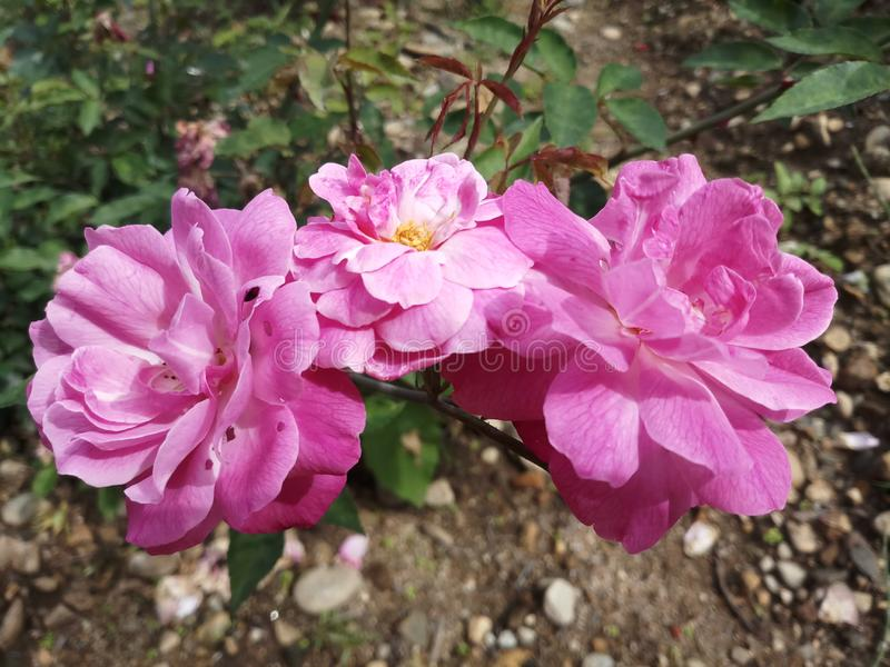 Rose Bud Nature Garden rosa immagine stock