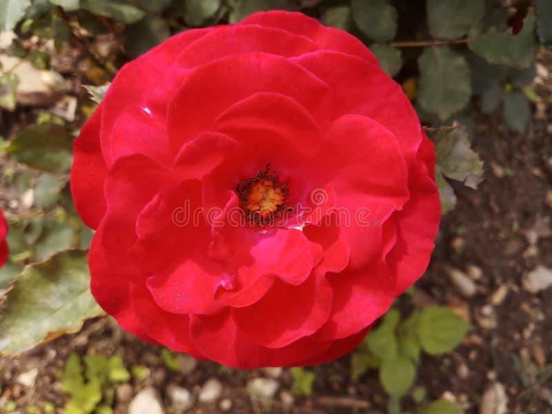 Rose Bud Nature Garden rossa fotografia stock