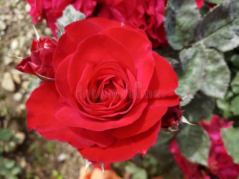 Rose Bud Nature Garden rossa immagine stock libera da diritti