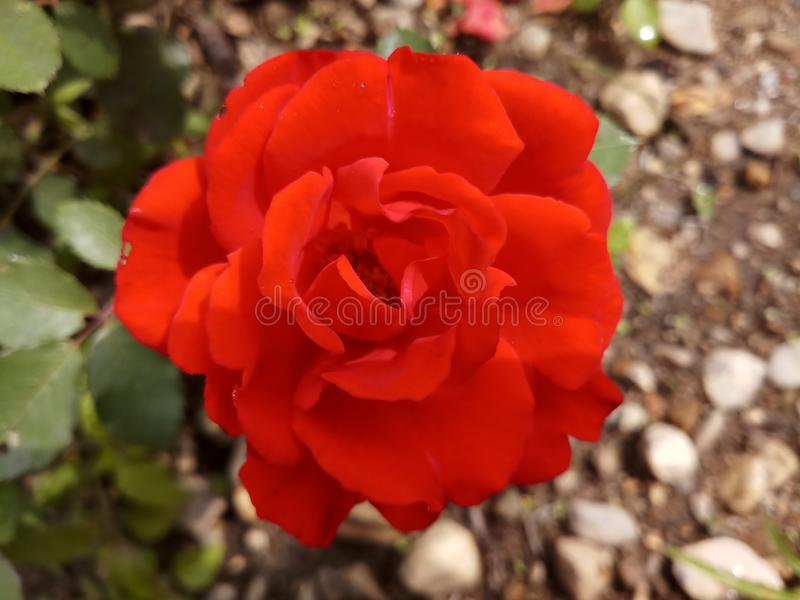 Rose Bud Nature Garden rossa fotografie stock libere da diritti
