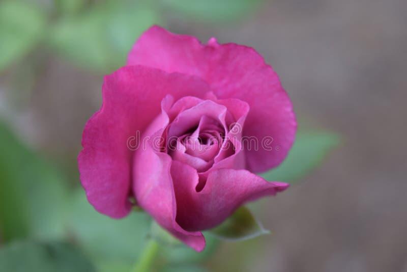 Rose Bud púrpura en jardín fotografía de archivo