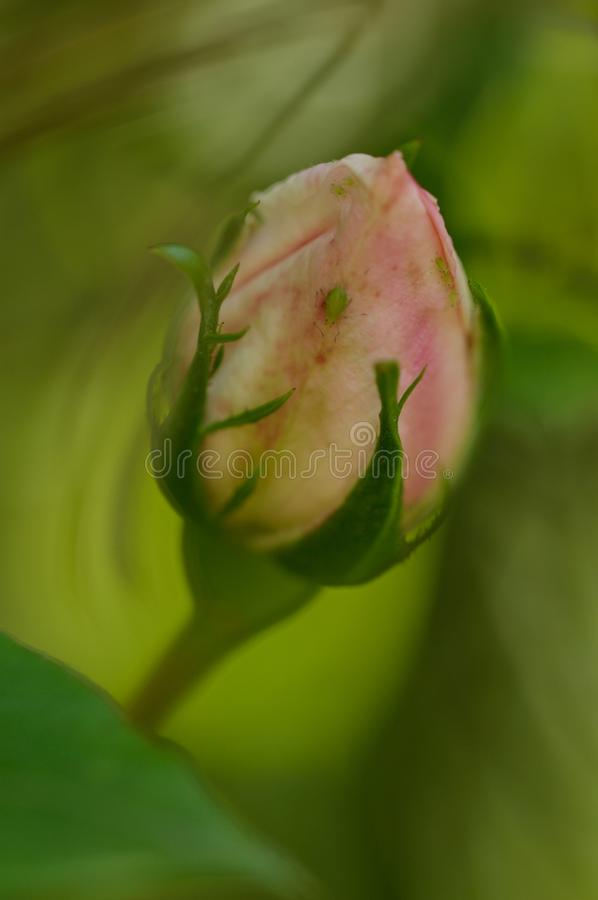 Rose in bud with residents. This rose still in bud . Has a number of residents to sit . If you look closely you will see at least six aphid sit on stock photo