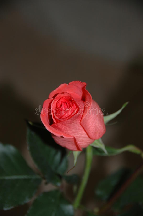 Rose Bud rossa rosata fotografia stock