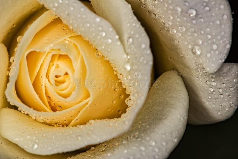 Rose Bud-wit met waterdalingen - de macro van de Bloemknop met waterdalingen stock afbeelding