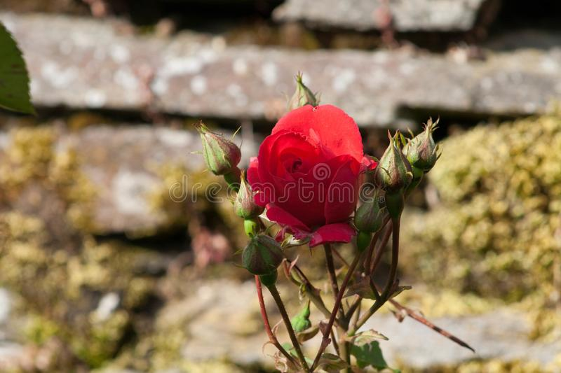 Blossoming rosebuds royalty free stock image