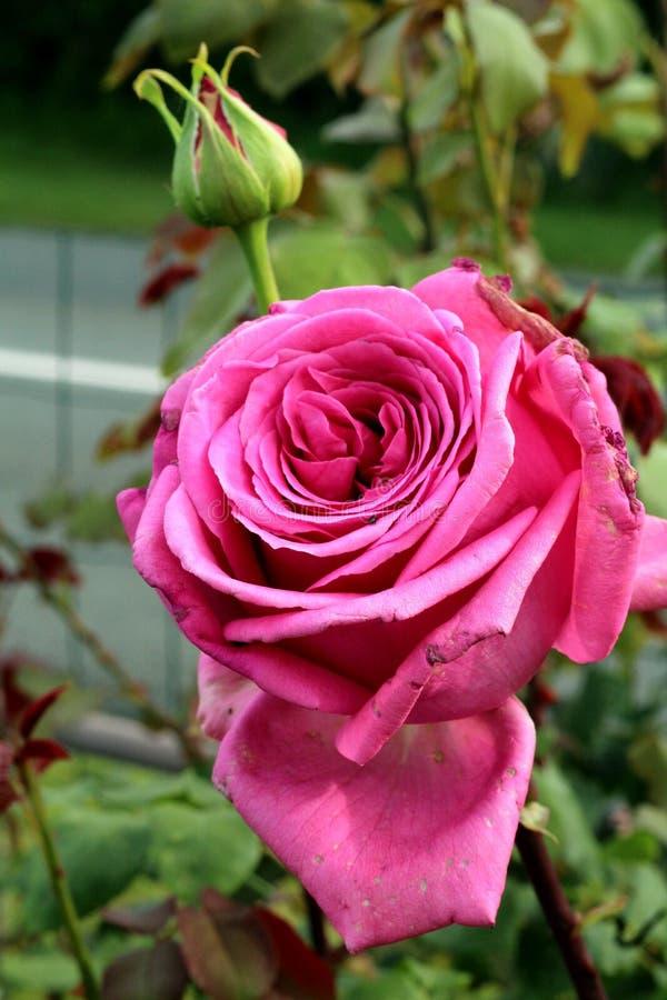 Rose Buds royaltyfria bilder