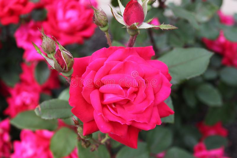 Rose Buds in de vroege zomer van 2019 II stock afbeelding