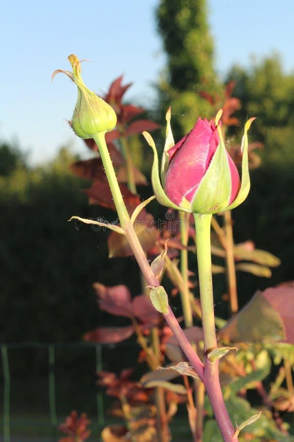 Rose Buds stockfotografie