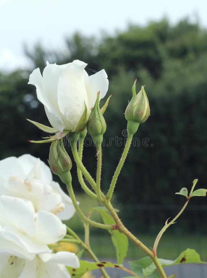 Rose Buds lizenzfreie stockfotos