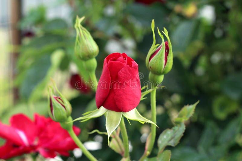 Rose Buds stockbilder