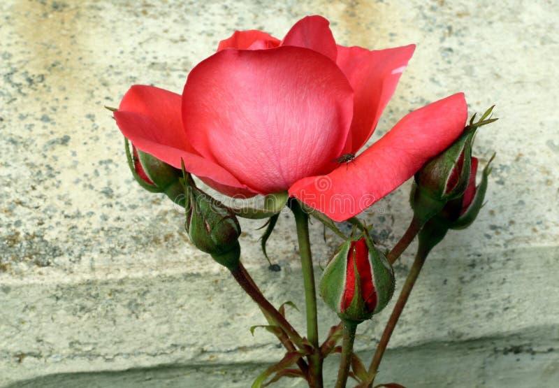 Rose Buds In Summer lizenzfreie stockfotografie