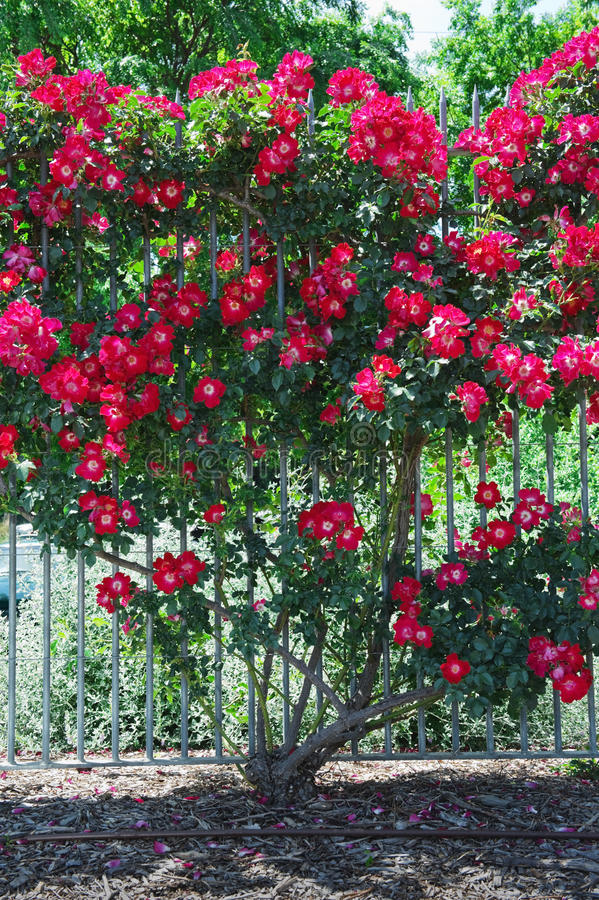 Download Rose bush stock photo. Image of bush, petal, flora, botany - 22341662