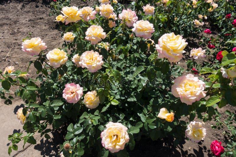 Rose bush in bloom stock images