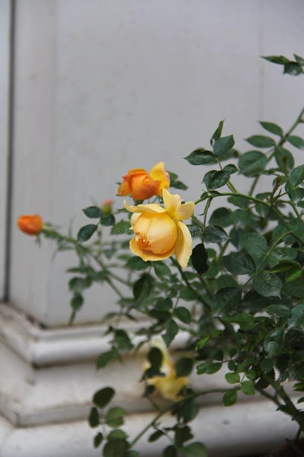 Rose Bush com flores amarelas foto de stock royalty free