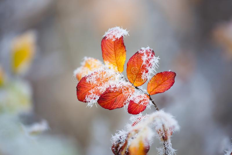 Rose bush frozen leaves. Details royalty free stock photography