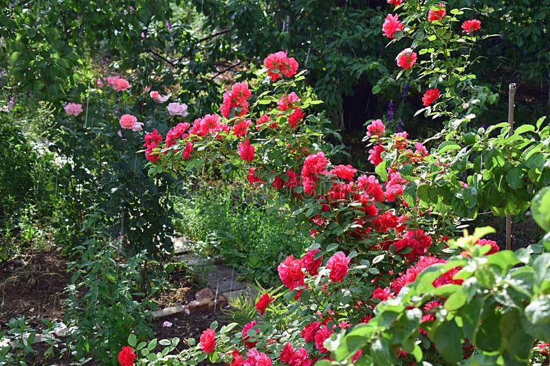 Rose bush in the garden during a sunshower stock image