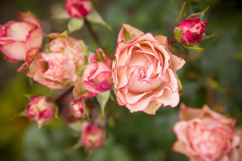 Rose bush with lots of pink roses in bloom, soft focus. Pink roses in garden. outdoors stock photos