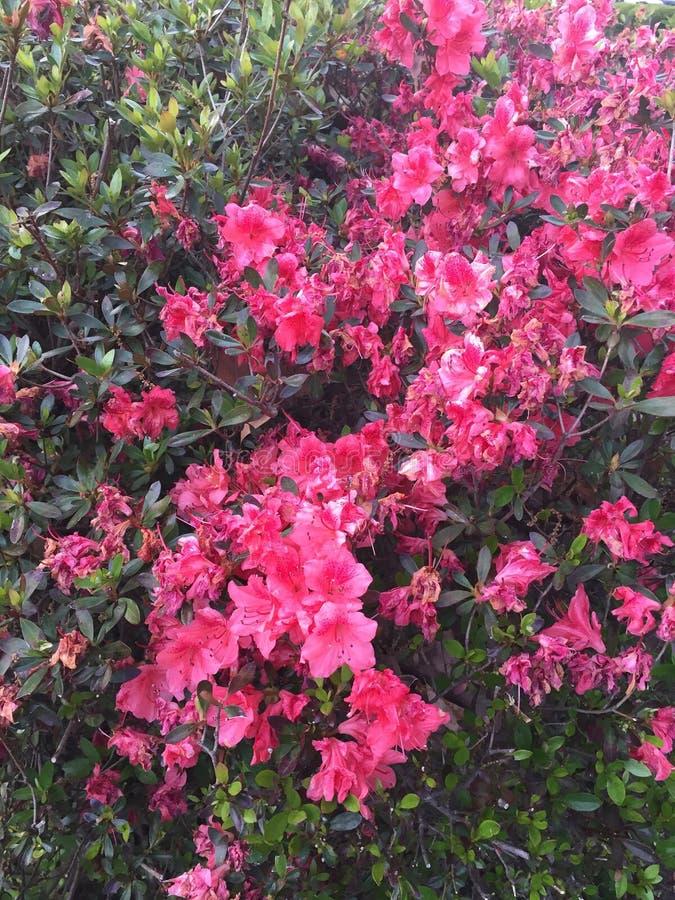 Rose bush, pink bush stock photography