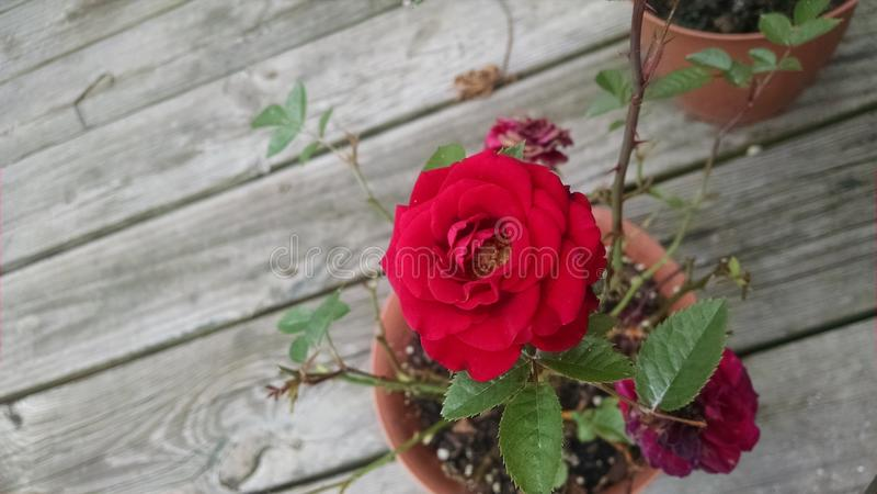 Rose Bush rouge miniature photographie stock