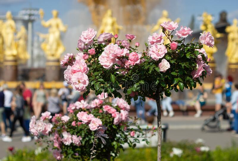 Rose Bush in the shape of a heart on the background of buildings and tourists in the Park. Greeting card for Valentine`s day. stock photography
