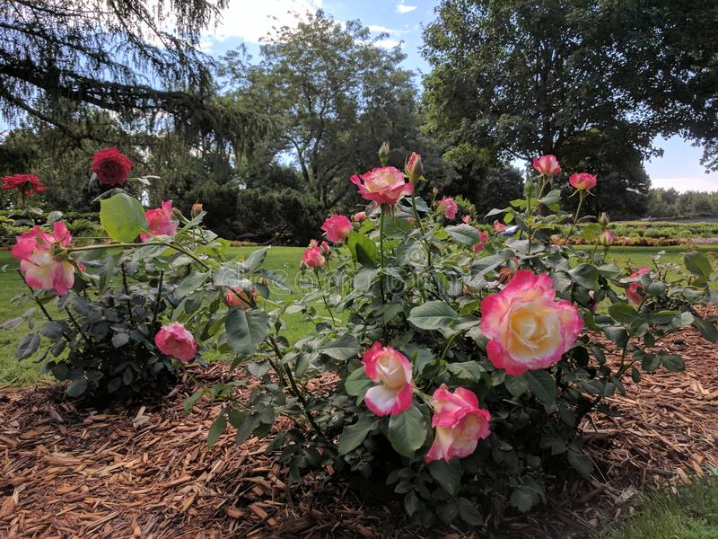 Rose Bushes in the Park. Rose bushes in McKennon Park royalty free stock photos