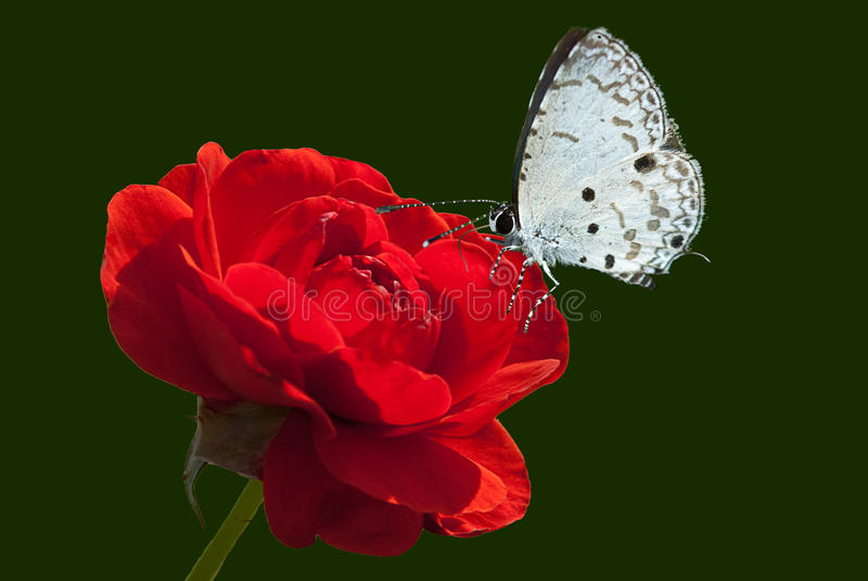 Rose and butterfly. For background stock photography