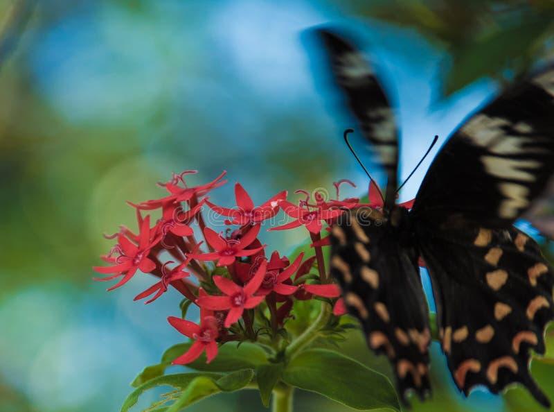 Rose Butterfly commune au Kerala photos libres de droits