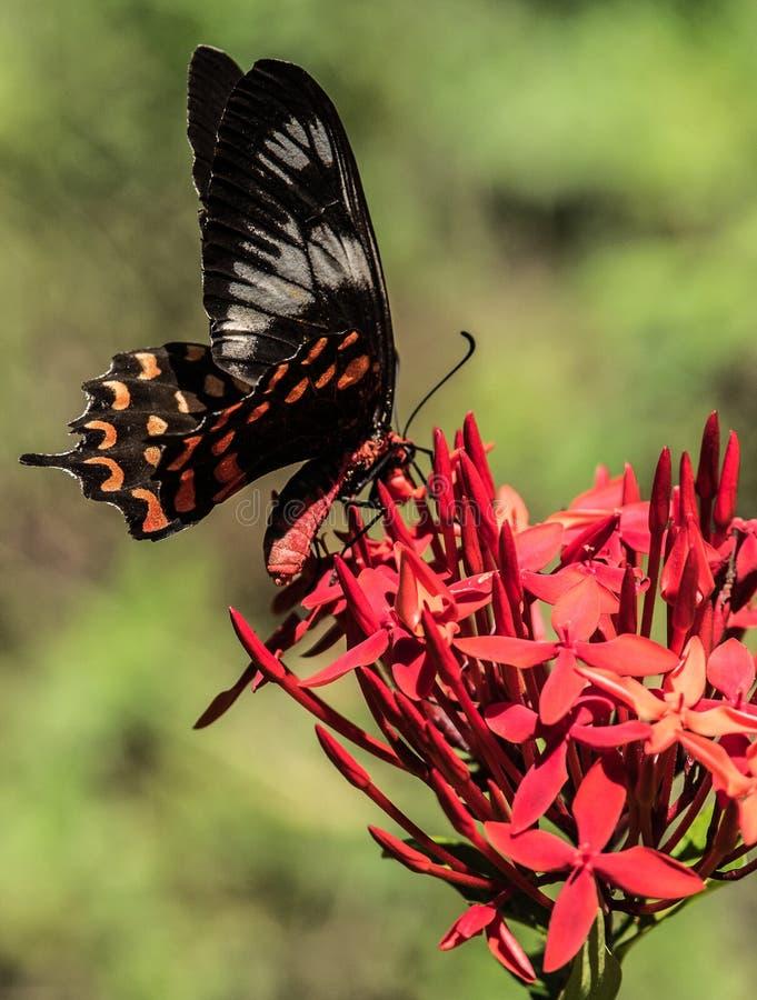 Rose Butterfly commune au Kerala image libre de droits