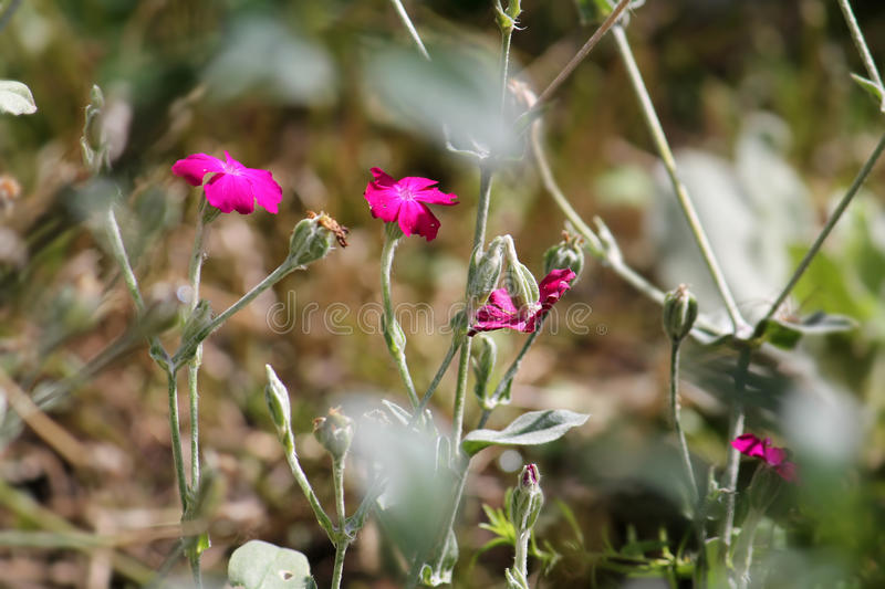 Rose Campion-bloemen of Silene-coronaria stock afbeelding