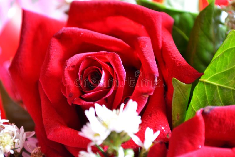 Rose for celebity and for love royalty free stock image