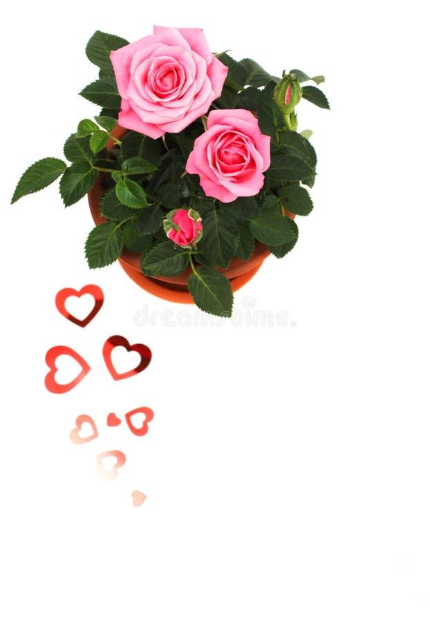 Rose in ceramic pot stock images