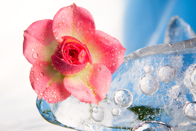 rose chłodzone lodu zdjęcie stock