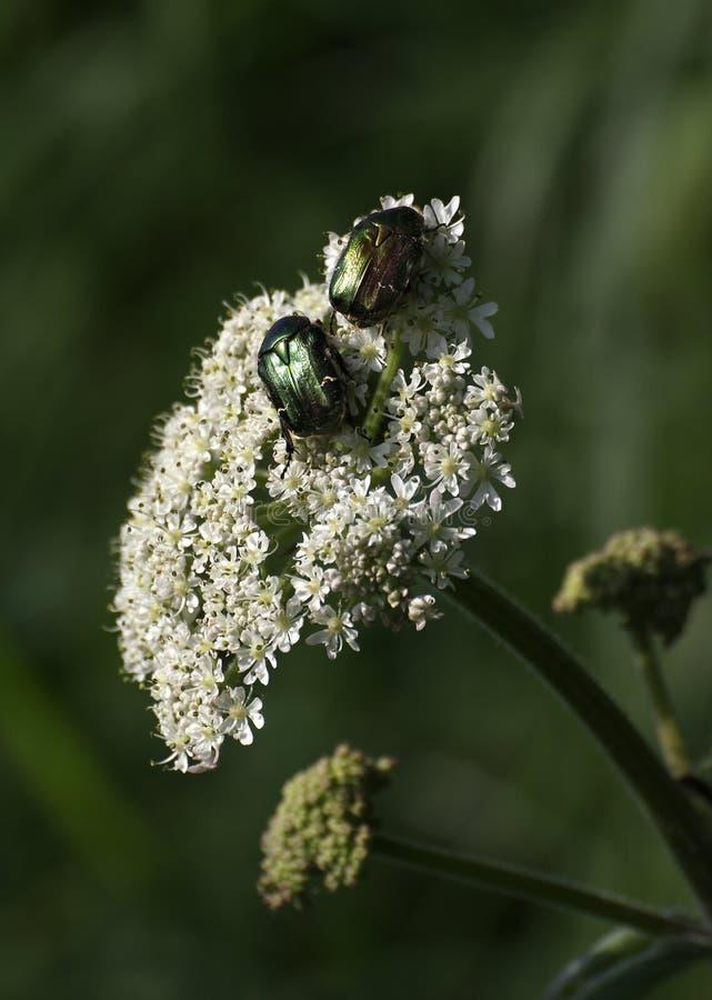 Rose Chafer Beetles On Flower foto de stock