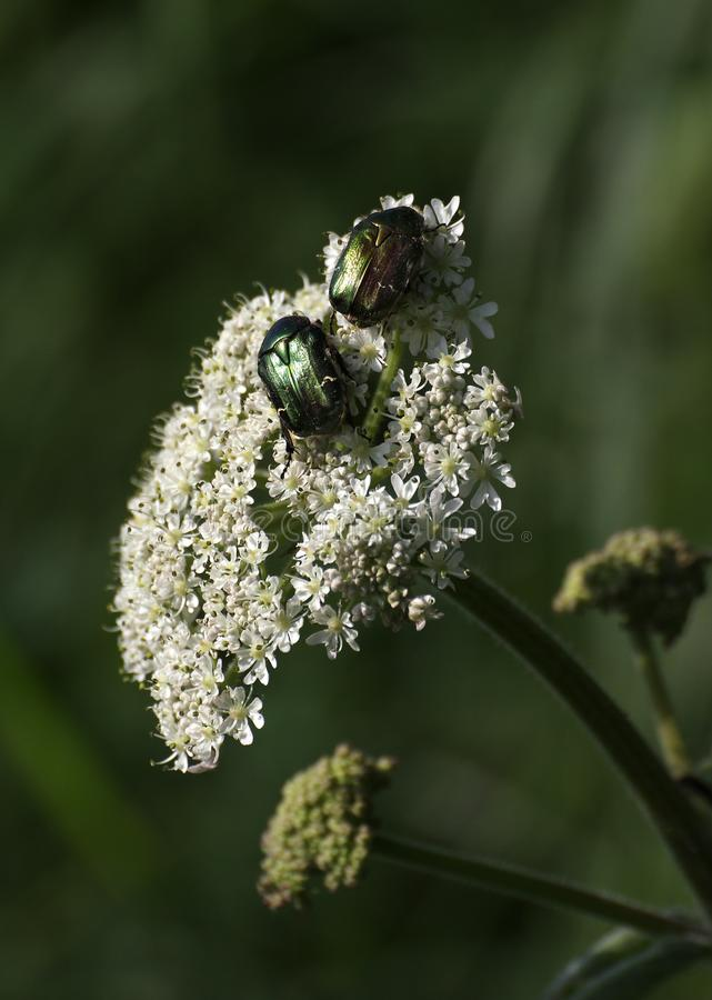 Rose Chafer Beetles On Flower fotografia stock