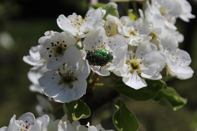 Rose chafer in pear blossoms. The picture shows a rose chafer in pear blossoms stock image