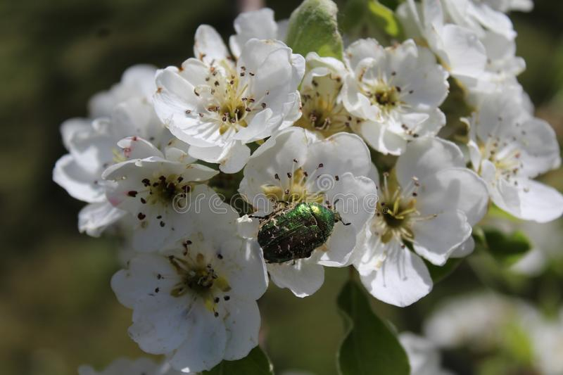 Rose chafer in pear blossoms. The picture shows a rose chafer in pear blossoms royalty free stock photography