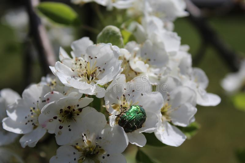 Rose chafer in pear blossoms. The picture shows a rose chafer in pear blossoms stock photography