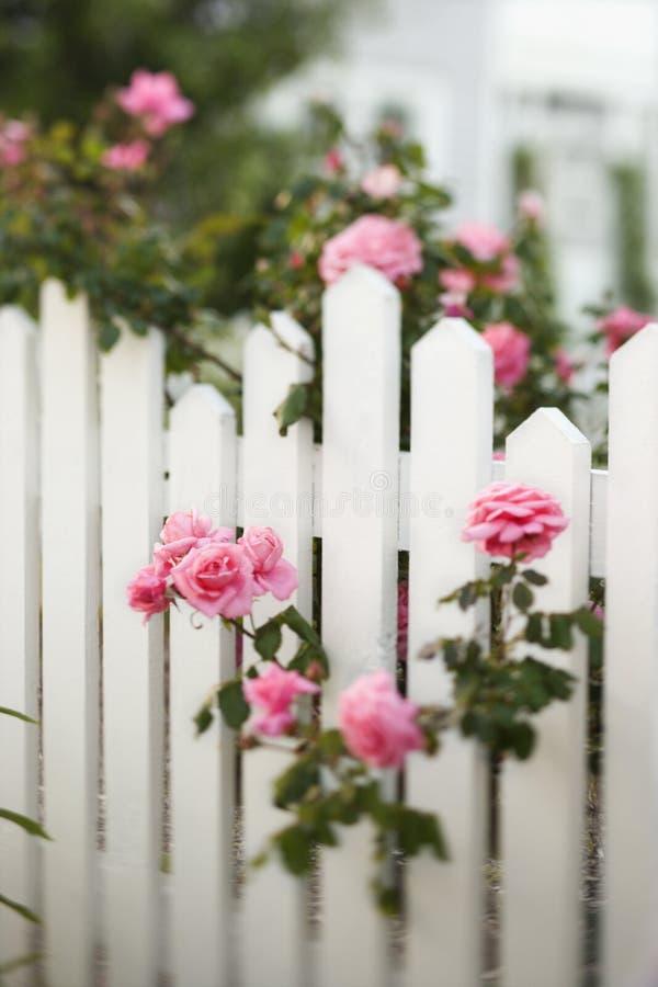 Rose che crescono sopra la rete fissa di picchetto. fotografia stock