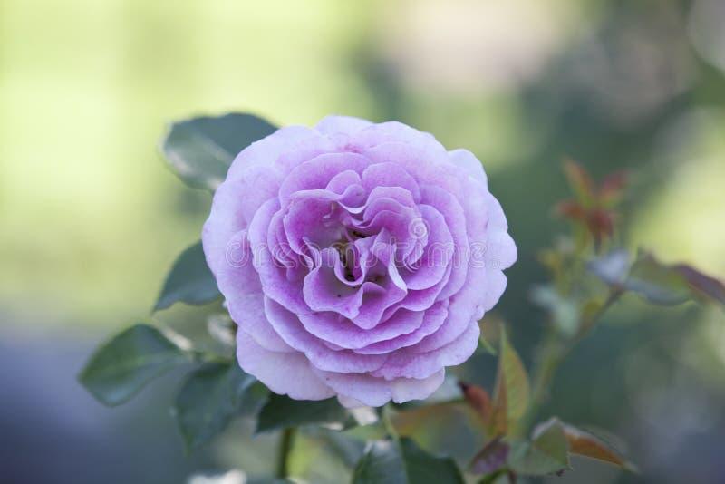 Rose chez Merrick Rose Garden photo libre de droits