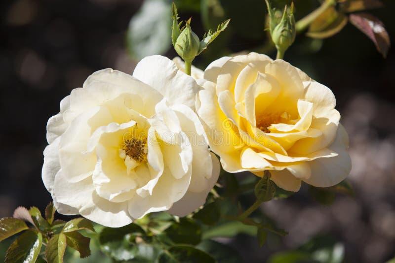 Rose chez Merrick Rose Garden image stock