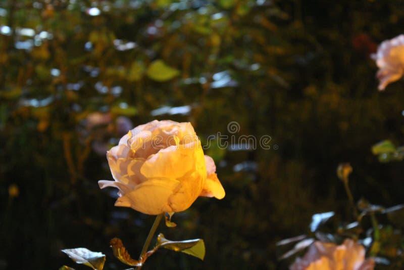 Rose-clair s'est levé photographie stock libre de droits