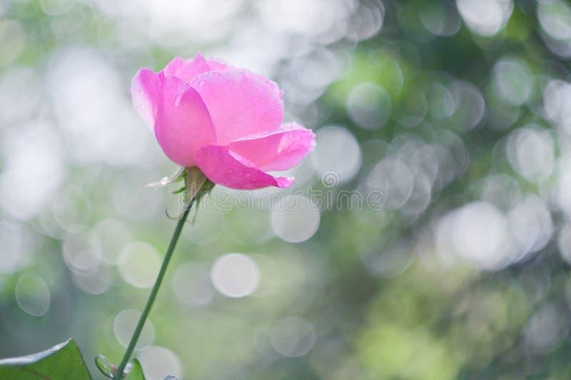 Rose-clair s'est levé sur le bokeh de fond image stock