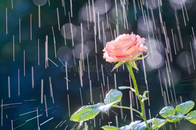 Rose rose-clair sur le fond des voies des baisses de pluie photographie stock