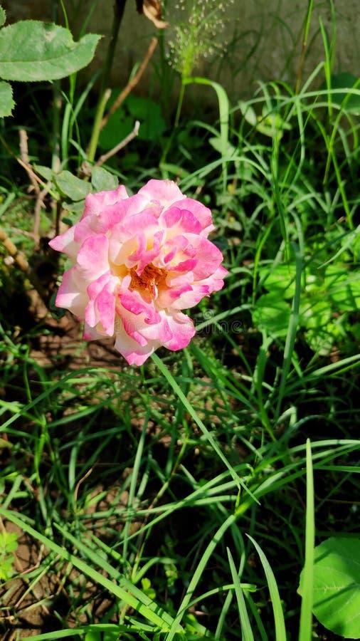 Rose click i ljus dagsljus arkivbilder