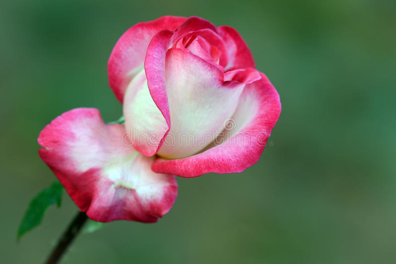 The Rose. A close-up photography on red rose royalty free stock photo